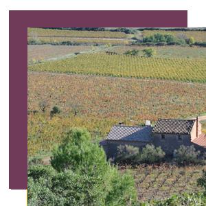Le vignoble du Mas de Cynanque